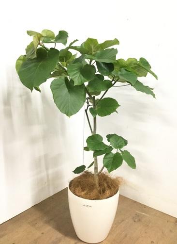 観葉植物 【110cm】 フィカス ウンベラータ 8号 #23258