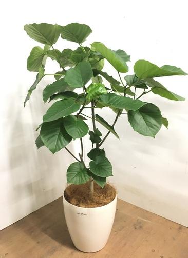 観葉植物 【115cm】 フィカス ウンベラータ 8号 #23264