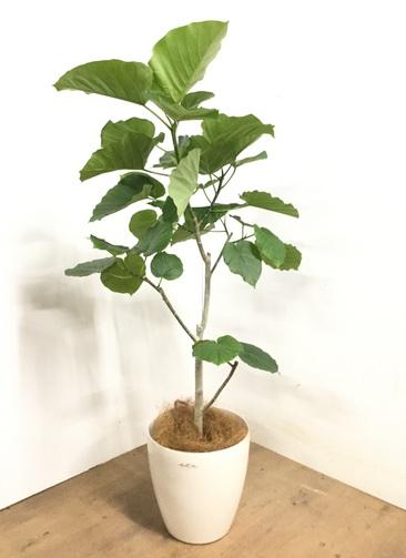 観葉植物 【135cm】 フィカス ウンベラータ 8号 #23268