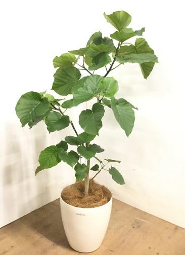 観葉植物 【130cm】 フィカス ウンベラータ 8号 #23272