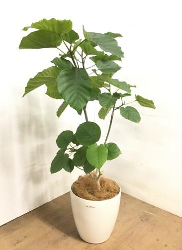 観葉植物 【120cm】 フィカス ウンベラータ 8号 #23273
