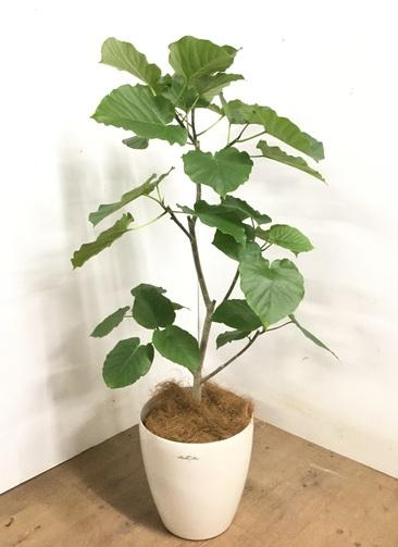 観葉植物 【120cm】 フィカス ウンベラータ 8号 #23274