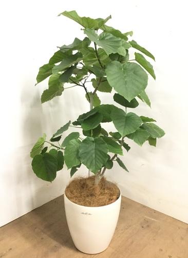 観葉植物 【115cm】 フィカス ウンベラータ 8号 #23276