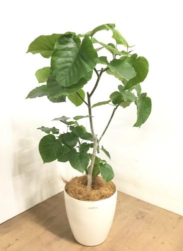 観葉植物 【115cm】 フィカス ウンベラータ 8号 #23279