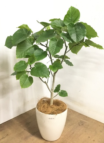 観葉植物 【115cm】 フィカス ウンベラータ 8号 #23280