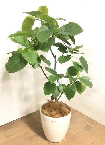 観葉植物 【125cm】 フィカス ウンベラータ 8号 #23283