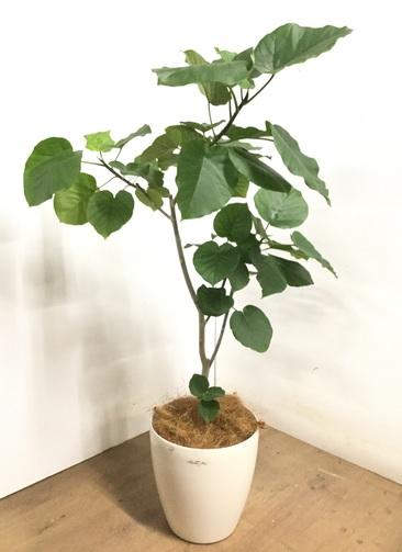 観葉植物 【125cm】 フィカス ウンベラータ 8号 #23285