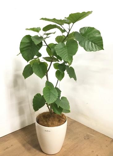 観葉植物 【120cm】 フィカス ウンベラータ 8号 #23286