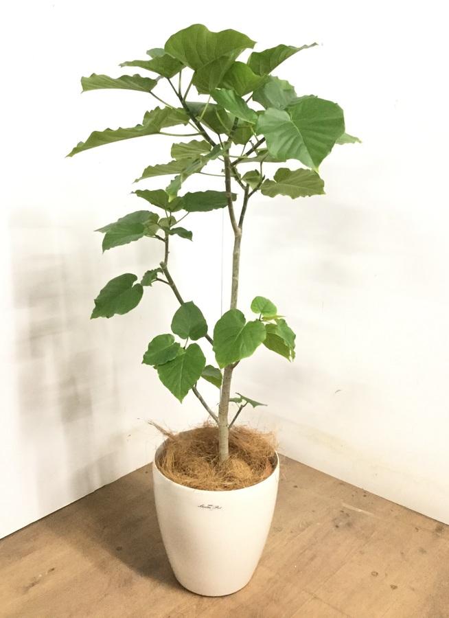 観葉植物 【120cm】 フィカス ウンベラータ 8号 #23287
