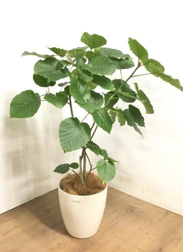 観葉植物 【120cm】 フィカス ウンベラータ 8号 #23290