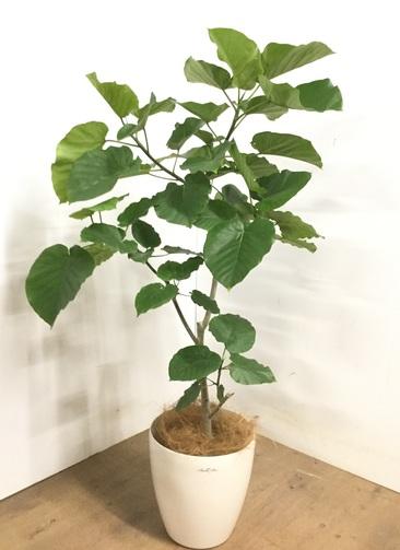 観葉植物 【135cm】 フィカス ウンベラータ 8号 #23292