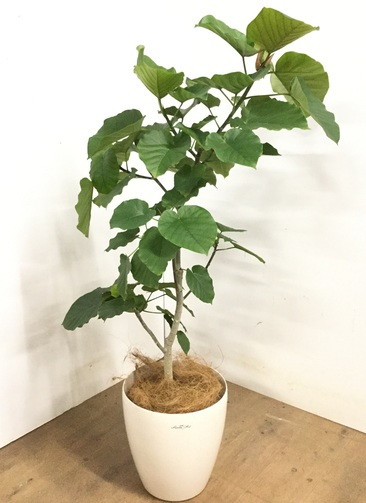 観葉植物 【120cm】 フィカス ウンベラータ 8号 #23295