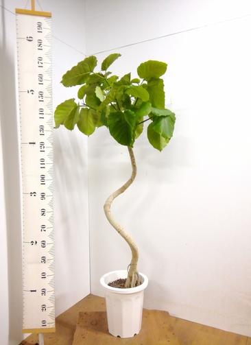 観葉植物 【177cm】 フィカス ウンベラータ 10号 #23306