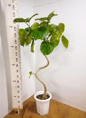 観葉植物 【175cm】 フィカス ウンベラータ 10号 #23307