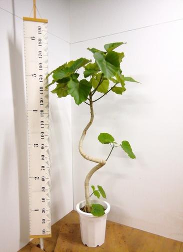 観葉植物 【175cm】 フィカス ウンベラータ 10号 #23308