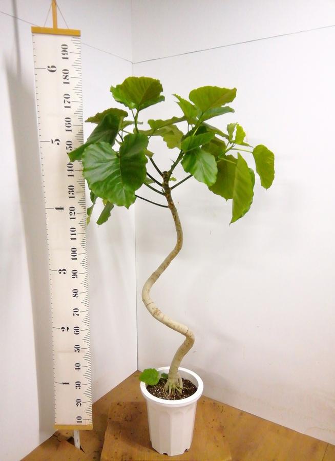 観葉植物 【178cm】 フィカス ウンベラータ 10号 #23310