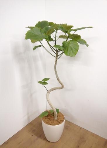 観葉植物 【175cm】 フィカス ウンベラータ 10号 #23311 ※1都3県配送限定商品