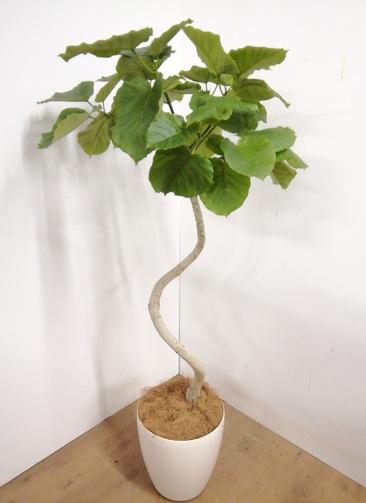 観葉植物 【175cm】 フィカス ウンベラータ 10号 #23314 ※1都3県配送限定商品