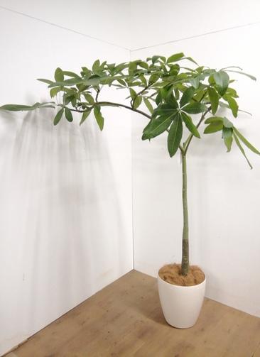 観葉植物 【183cm】 パキラ 10号 #23319 ※1都3県配送限定商品