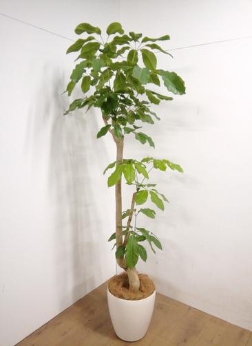 観葉植物 【207cm】 ブラッサイア 10号 #23321 ※1都3県配送限定商品