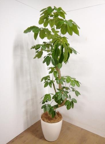 観葉植物 【200cm】ブラッサイア 10号 #23322 ※1都3県配送限定商品