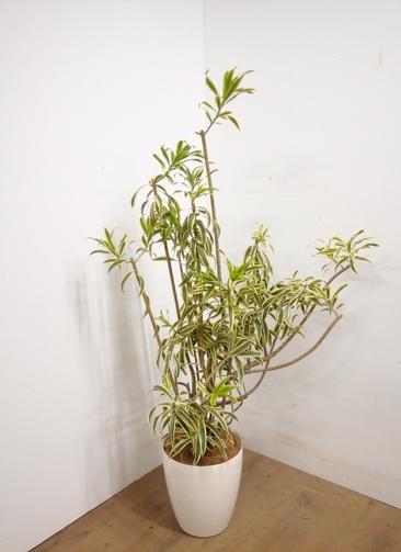 観葉植物 【154cm】 ドラセナ ソング オブ インディア 8号 #23323 ※1都3県配送限定商品
