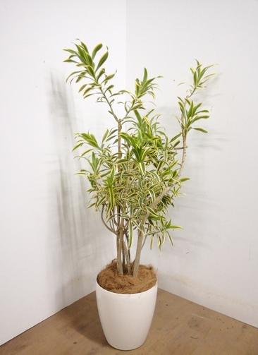 観葉植物 【136cm】 ドラセナ ソング オブ インディア 8号 #23324 ※1都3県配送限定商品