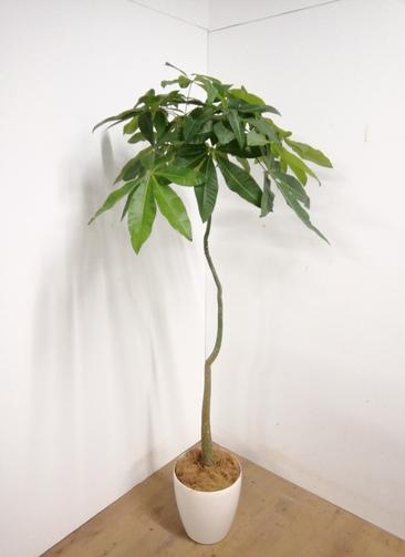 観葉植物 【185cm】 パキラ 8号 #23325 ※1都3県配送限定商品