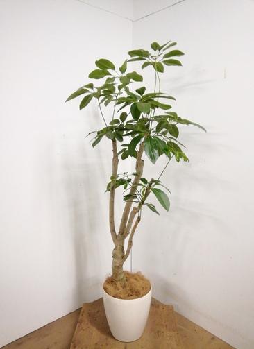 観葉植物 【160cm】 ブラッサイア8号 #23328 ※1都3県配送限定商品
