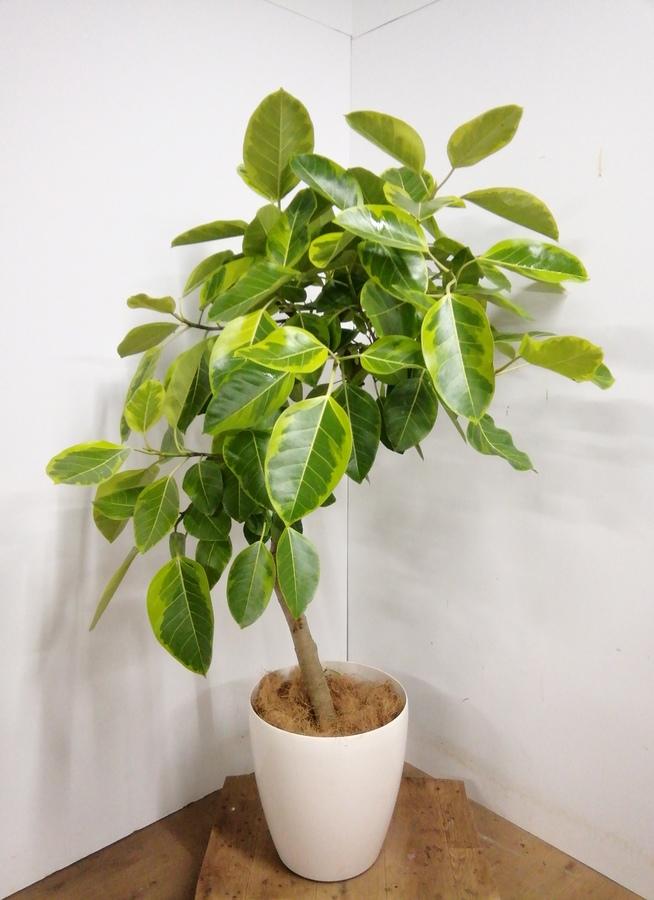 観葉植物 【150cm】 フィカス アルテシーマ 10号 #23330 ※1都3県配送限定商品