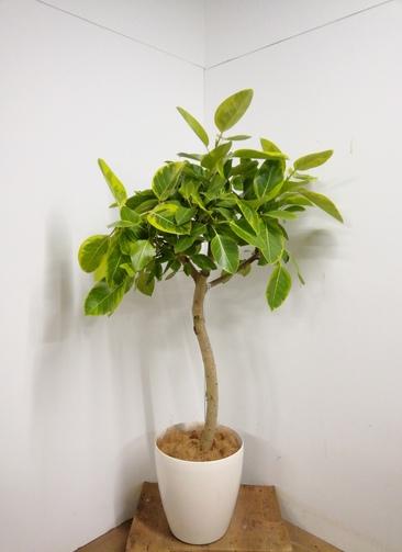 観葉植物 【160cm】 フィカス アルテシーマ 10号 #23331 ※1都3県配送限定商品
