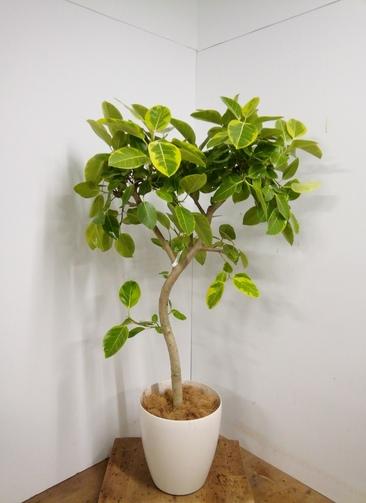 観葉植物 【155cm】 フィカス アルテシーマ 10号 #23332 ※1都3県配送限定商品