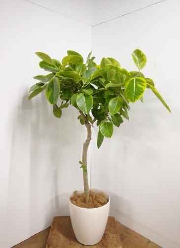 観葉植物 【155cm】 フィカス アルテシーマ 10号 #23333 ※1都3県配送限定商品