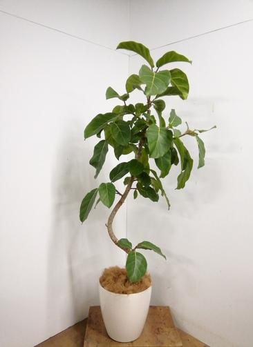 観葉植物 【170cm】 アフリカンプリンス10号 曲がり #23337 ※1都3県配送限定商品