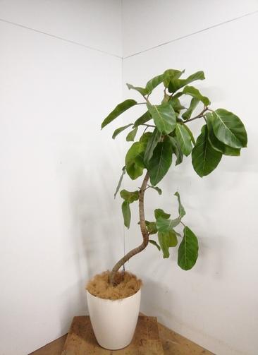 観葉植物 【165cm】  アフリカンプリンス10号 #23338 ※1都3県配送限定商品
