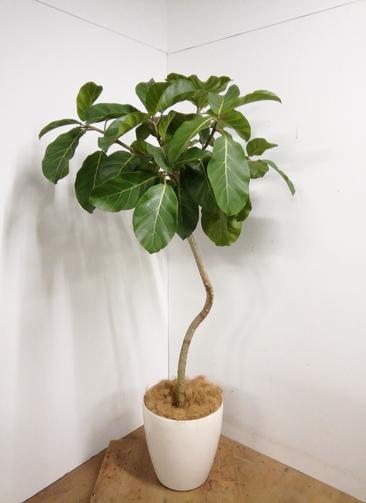 観葉植物 【165cm】アフリカンプリンス 10号 #23339 ※1都3県配送限定商品