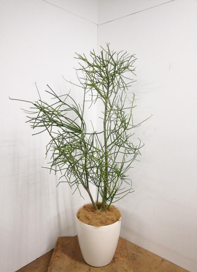 観葉植物 【155cm】 ミルクブッシュ10号 #23340 ※1都3県配送限定商品