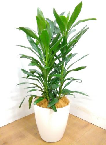 観葉植物 【110cm】 ドラセナ グローカル 8号 #23352