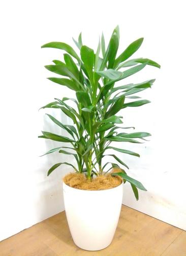 観葉植物 【105cm】 ドラセナ グローカル 8号 #23354