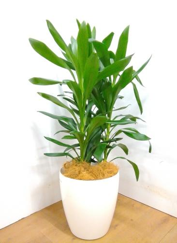 観葉植物 【105cm】 ドラセナ グローカル 8号 #23355