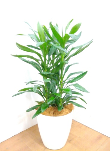 観葉植物 【100cm】 ドラセナ グローカル 8号 #23356