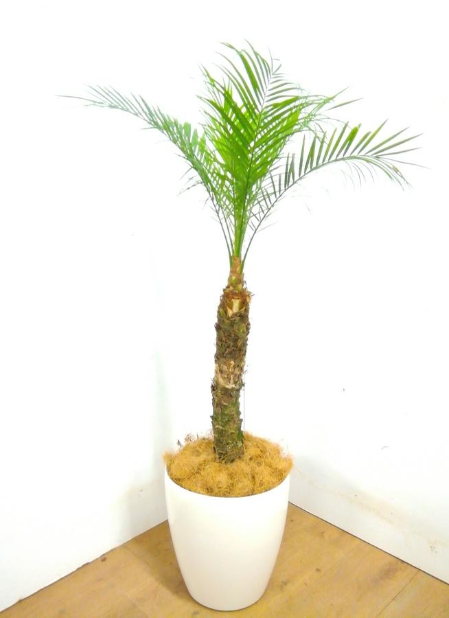 観葉植物 【115cm】 フェニックスロベレニー 8号 #23358