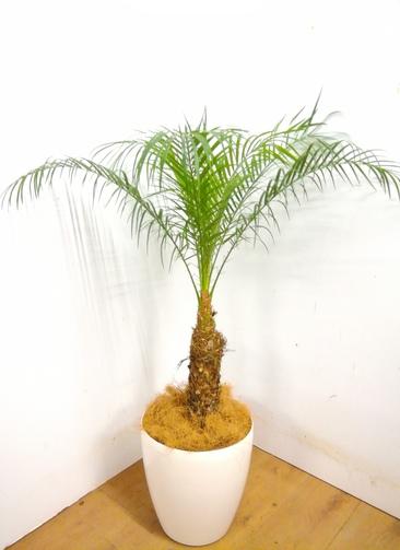 観葉植物 【105cm】 フェニックスロベレニー 8号 #23359 ※1都3県配送限定商品