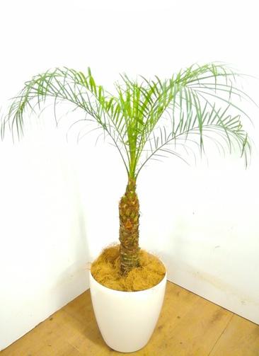観葉植物 【105cm】 フェニックスロベレニー 8号 #23361 ※1都3県配送限定商品
