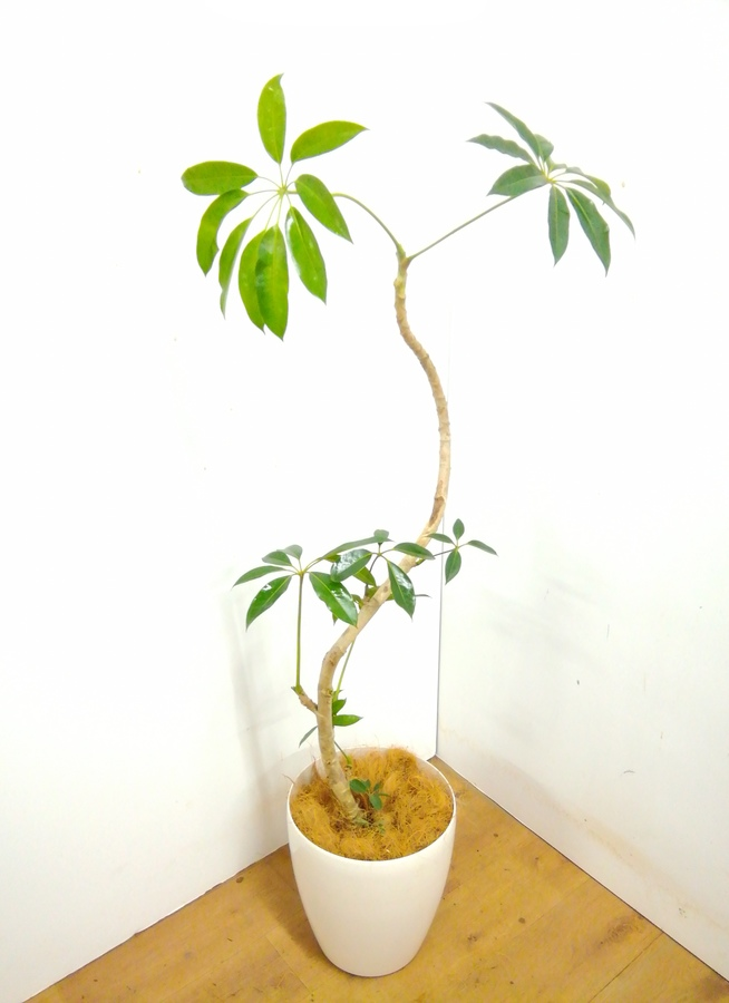 観葉植物 【140cm】 ツピダンサス 8号 #23362
