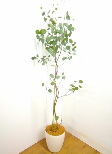 観葉植物 【205cm】 ユーカリポポラス 8号 #23364 ※1都3県配送限定商品