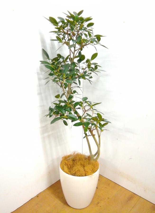観葉植物 【130cm】 フランスゴムの木 8号 #23366