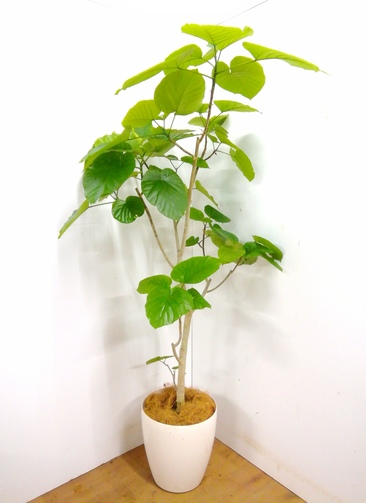 観葉植物 【190cm】 フィカス ウンベラータ 10号 #23369 ※1都3県配送限定商品