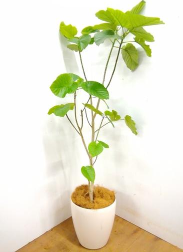 観葉植物 【170cm】 フィカス ウンベラータ 10号 #23370 ※1都3県配送限定商品