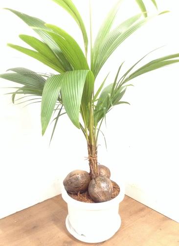 観葉植物 【150cm】 ココヤシ 13号プラスチック鉢 #23376 ※1都3県配送限定商品